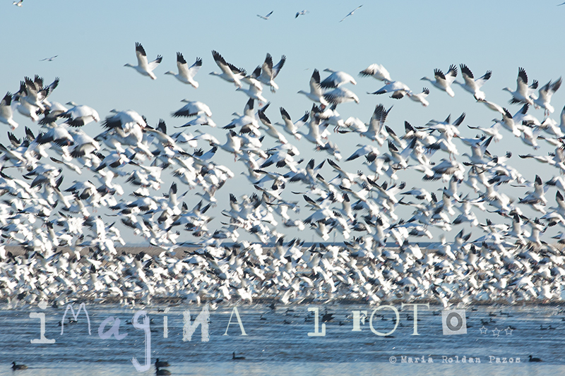 Geese, flying, Migration,